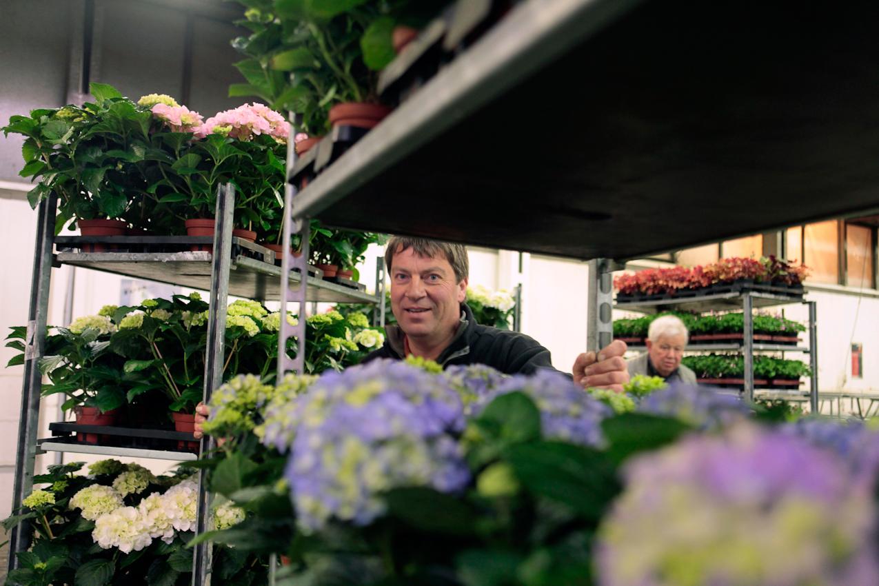 7. Mai 2010 Uhrzeit: 3.53h Foto: Anja Cord - Händler Klaus Langenhorst von der gleichnamigen Gärtnerei transportiert Karren voller blauer Hortensien zu seinem Verkaufplatz in der riesigen  Blumenhalle.des Großmarktes. (hi. Norbert Tewes)