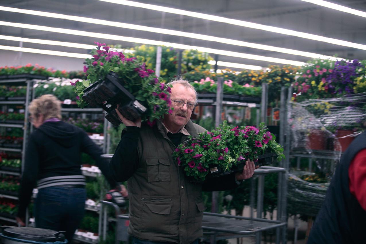7. Mai 2010 Uhrzeit: 4.41h Foto: Anja Cord - Palettenweise kauft  Gerhard Zilian Petunien auf dem Dortmunder Blumengroßmarkt zum Weiterverkauf in seinem Blumengeschäft. Die Saison fur diese  beliebten Balkonpflanzen beginnt gerade.