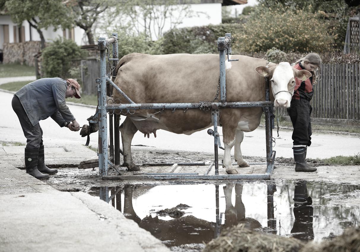 Pedikure im oberbayrischen Neufahrn/ Egling: Landwirt  Johann  Holzmayr reinigt die Hufe der Milchkuh Susi im Klauenpflegestand, Tochter Franziska assistiert