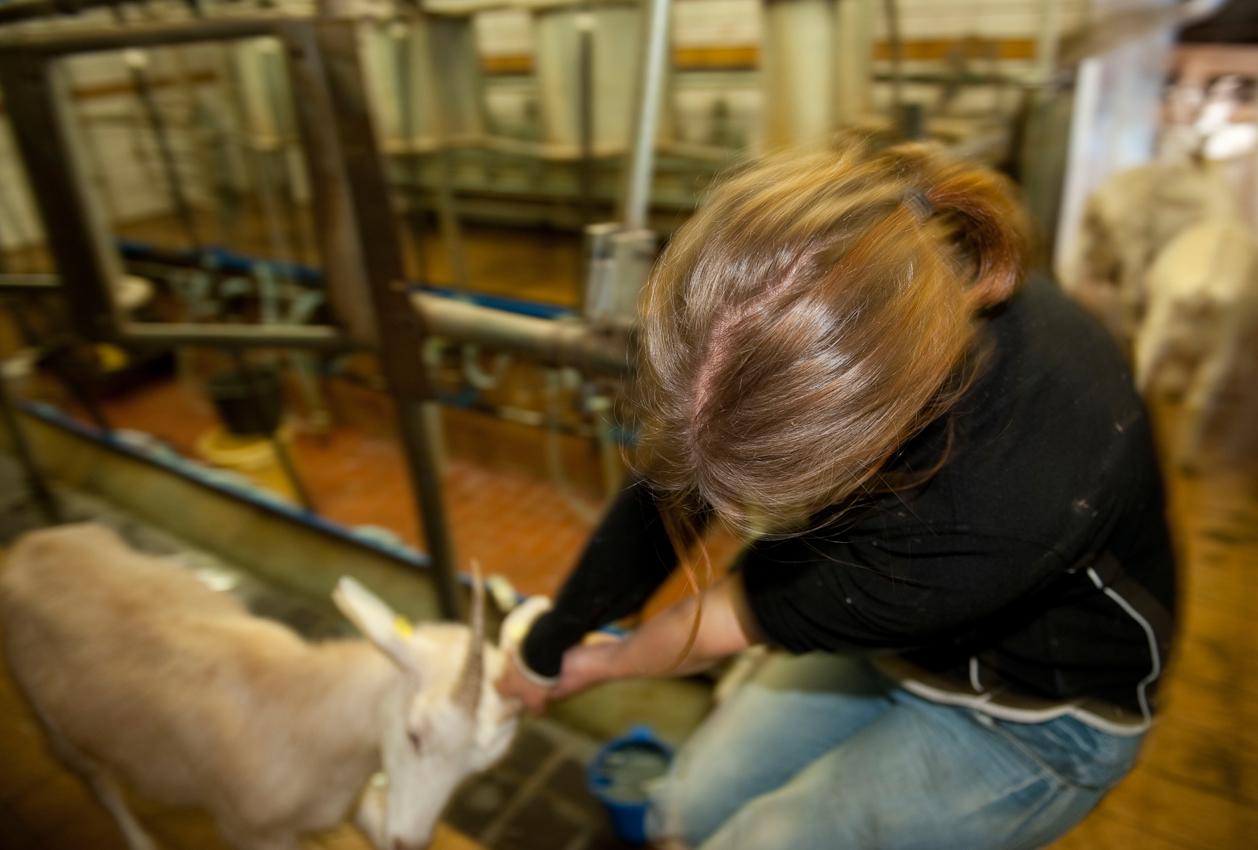 Lisa Friedrich absolviert eine Landwirtschaftslehre auf dem Gut Adolphshof, einem Demeter-Hof in 31275 Lehrte-Hamelerwald, 30 km östlich von Hannover. Sie holt die Ziegen und die Schafe aus dem Stall, um sie zu melken.