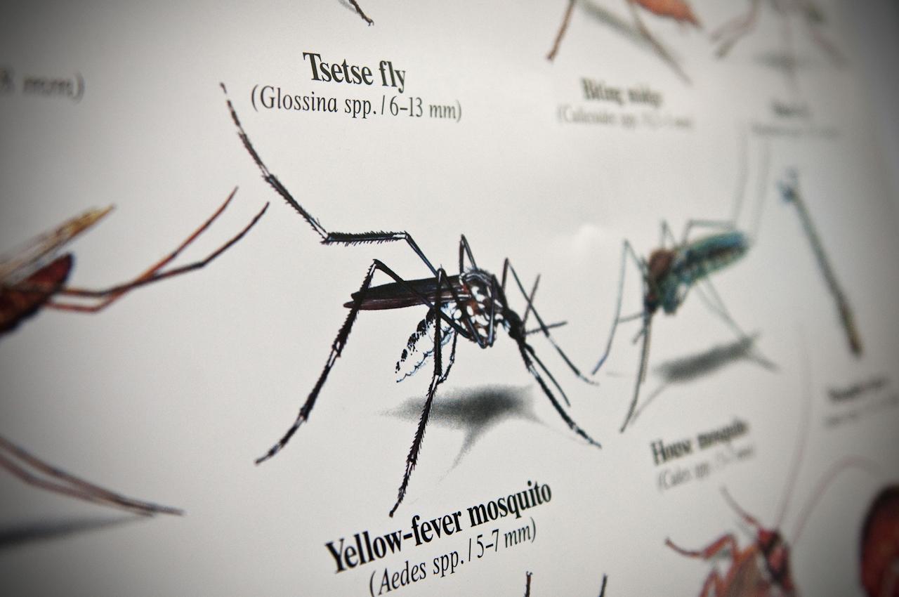 Abbildung einer Gelbfiebermücke auf einem Plakat in einem Lehrraum.