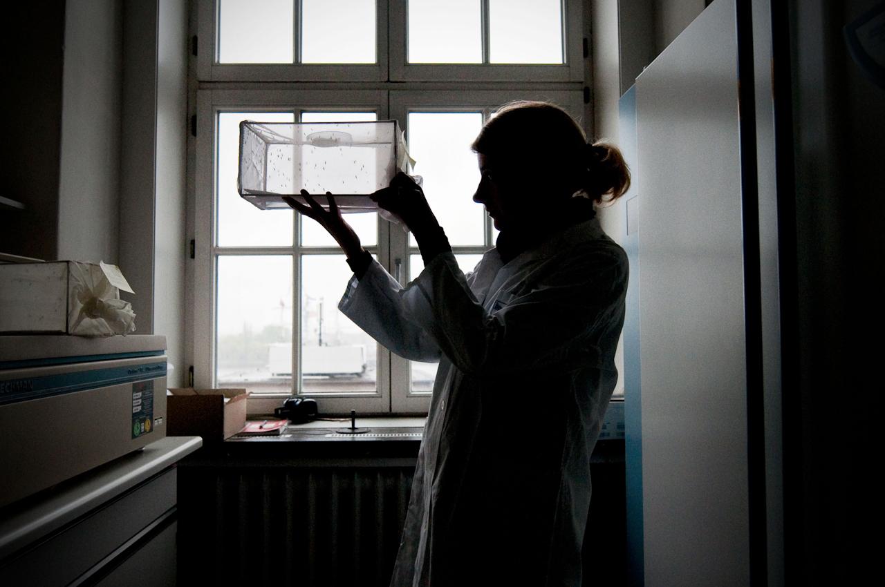Eine Forscherin begutachtet frisch gezüchtete Mücken.