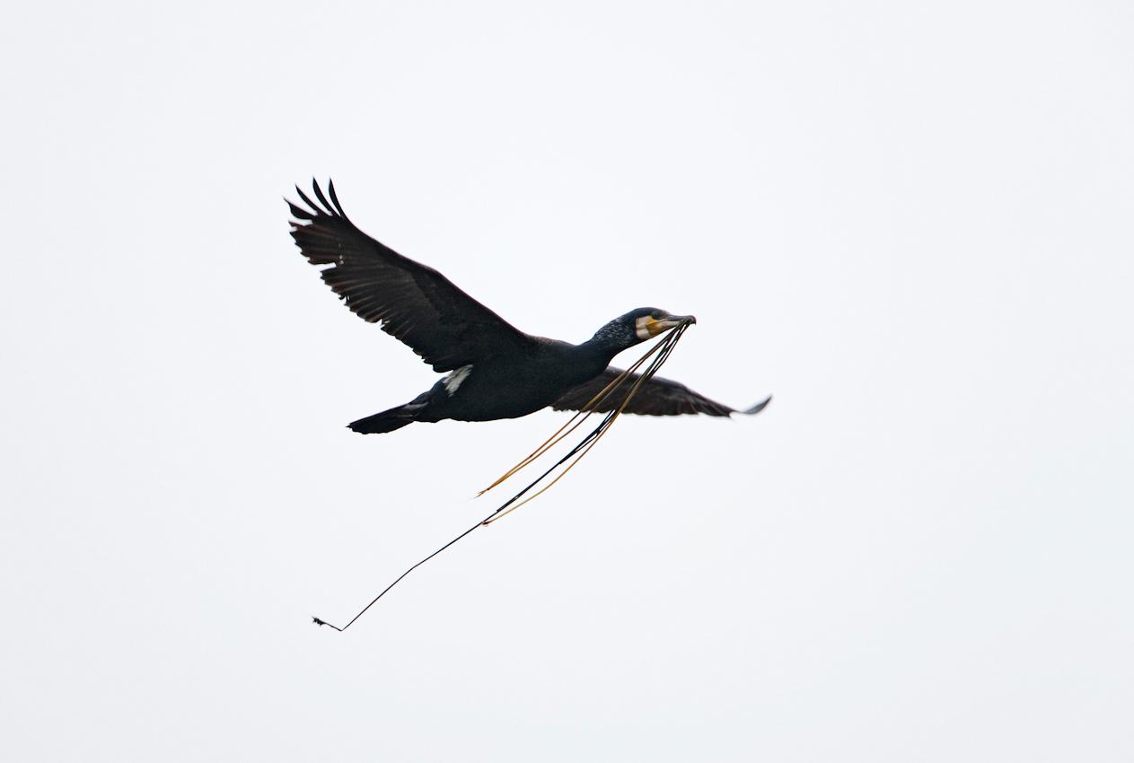 Kormoran, Vogel des Jahres 2010, im Flug mit Nistmaterial, Anklamer Stadtbruch, Mecklenburg-Vorpommern, Deutschland
