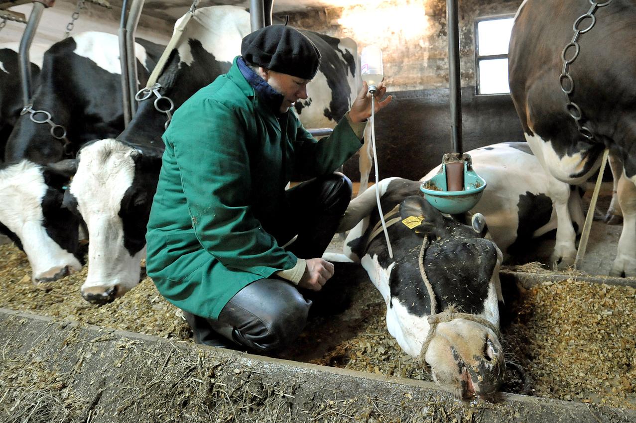 Die Tierärztin Annette Röllmann versorgt am Freitag (07.05.2010) um  kurz vor sieben Uhr morgens im niedersächsischen Cluvenhagen (Landkreis Verden) eine an Kuhfieber erkrankte Milchkuh im Stall des Landwirts Hans Gustke. Sie gibt ihr einen Tropf mit Kalzium, damit das Tier wieder auf den Beine kommt. Eigentlich wollten die Gustkes ihre Kühe bereits melken. Nun kam die kranken Kuh dazwischen und der Alltagsbetrieb muss warten. Der Hof Gustke zählt noch zu den alten kleinbauerlichen Vollerwerbsbetrieben, bei dem die gesamte Familie mit anpacken muss.