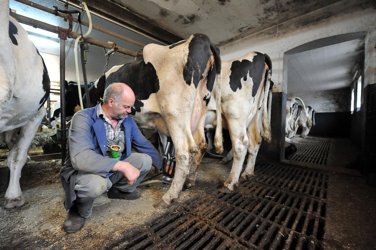 Der Landwirt Hans Gustke melkt am Freitag (07.05.2010) gegen viertel vor acht Uhr morgens im niedersächsischen Cluvenhagen (Landkreis Verden) eine seiner Kühe. Eigentlich wollte der Landwirt seine Kühe bereits um 6.30 Uhr gemolken haben. Eine kranke Kuh kam aber dazwischen und musst erst von einer Tierärztin behandelt werden. Der Hof Gustke zählt noch zu den alten kleinbauerlichen Vollerwerbsbetrieben, bei dem die gesamte Familie mit anpacken muss.