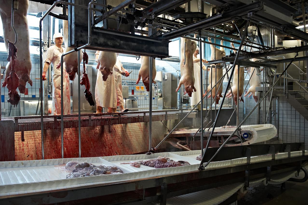Schlachthof Vogler Fleisch LuckauSchlachthof der Firma Vogler Fleisch 29487 Luckau Ortsteil Steine, Wendland. Die angelieferten Tiere (hier Schweine) werden geschlachtet, ausgenommen und nach einer Nacht im Kühlhaus von polnischen Gastarbeitern zerlegt. Das Fleisch wird dann an die Kunden (z.B.Supermarktketten/Schlachtereien) geliefert. Nach Betaubung mit Co2 Gas werden die Tiere getötet und dann von Schlachtern ausgenommen. Bis zur Fleischbeschau durch Mitarbeiter der Behörde müssen die Innereien dem Tier zugeordnet werden. Dafür werden sie auf einem Haken am Fließband gehängt.