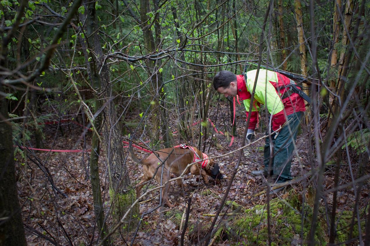 Brahmwald, Oedelsheim, Oberweser. Förster Gunter Mantel und seine Schweisshundin Lina suchen einen schwer verletzten Rehbock im Unterholz. Ein Jagdgast hatte den Rehbock am Morgen angeschossen. Die 10 Meter lange signalrote Leine hilft Gunter Mantel dabei, seinem Hund im dichten Unterholz zu folgen.