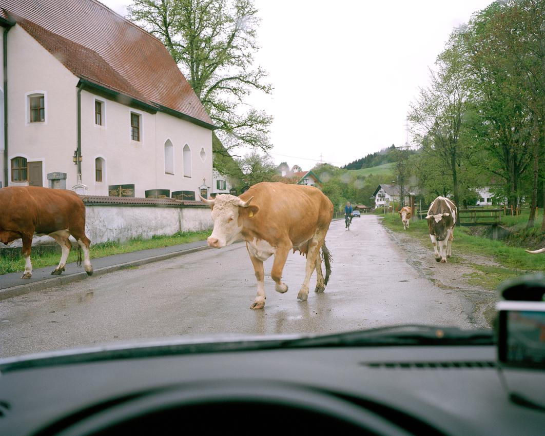 Kühe werden vom Hof auf die Weide getrieben