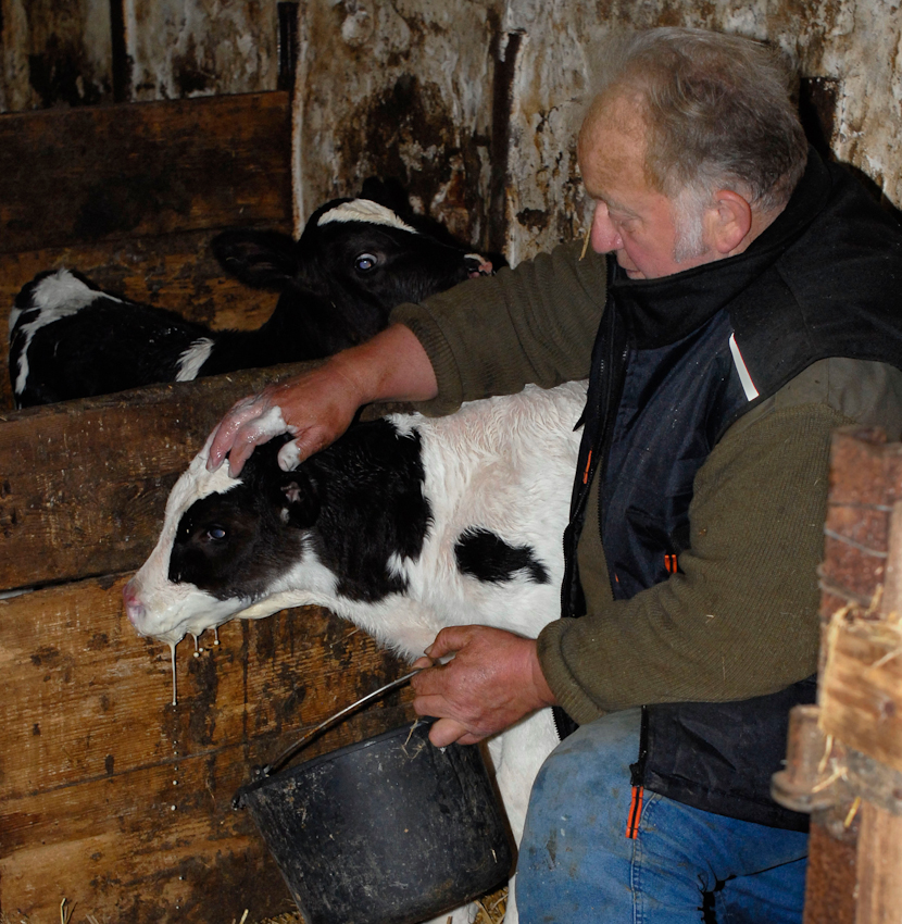 49638 Nortrup, Niedersachsen, Bauernhof mit Milchwirtschaft, Muttermilch gibt aus dem Eimer