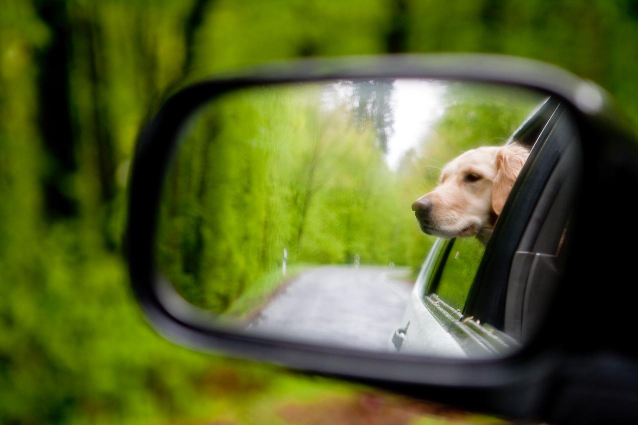 Golden Retriever Moana genießt die Fahrt durch den Buchenwald im osthessischen Haunetal.