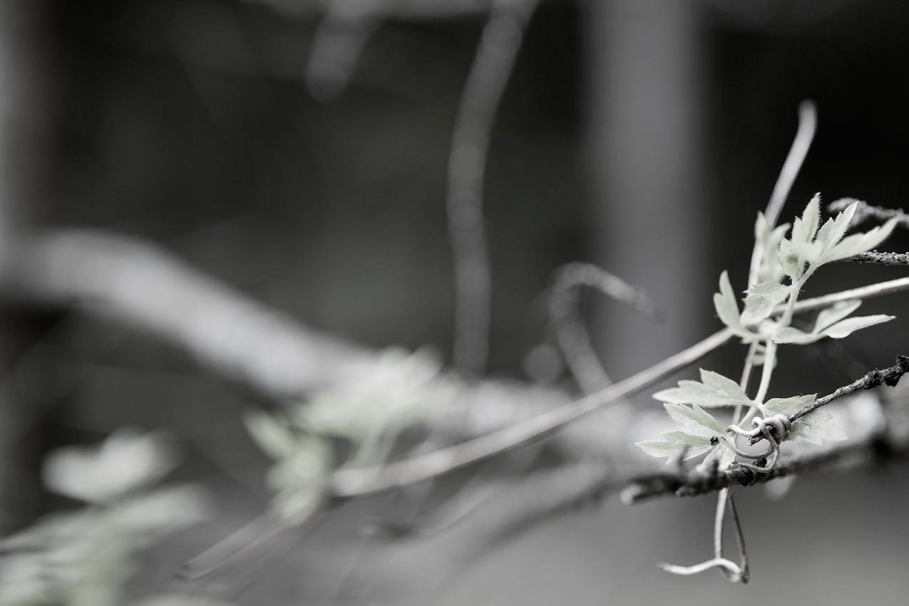 In den Isarauen bei Oberhummel. Rankende Pflanze an noch nicht treibendem Ast.