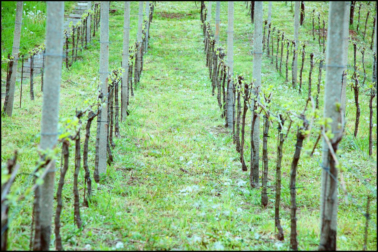 Hier kann man die natürliche Symmetrie des Weinberges Pillnitz sehen. Die Rebstöcke wurden erst vor wenigen Tagen verschnitten. So wird die beste Qualität des Stockes erzielt.