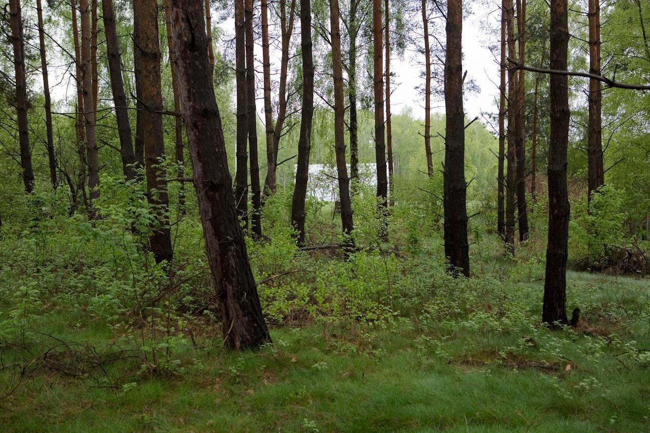 Durch den Kiefernwald blitzt die grosse weisse Leinwand des Autokinos Zempow, welches am Ortsausgang von Zempow in Norbrandenburg liegt.