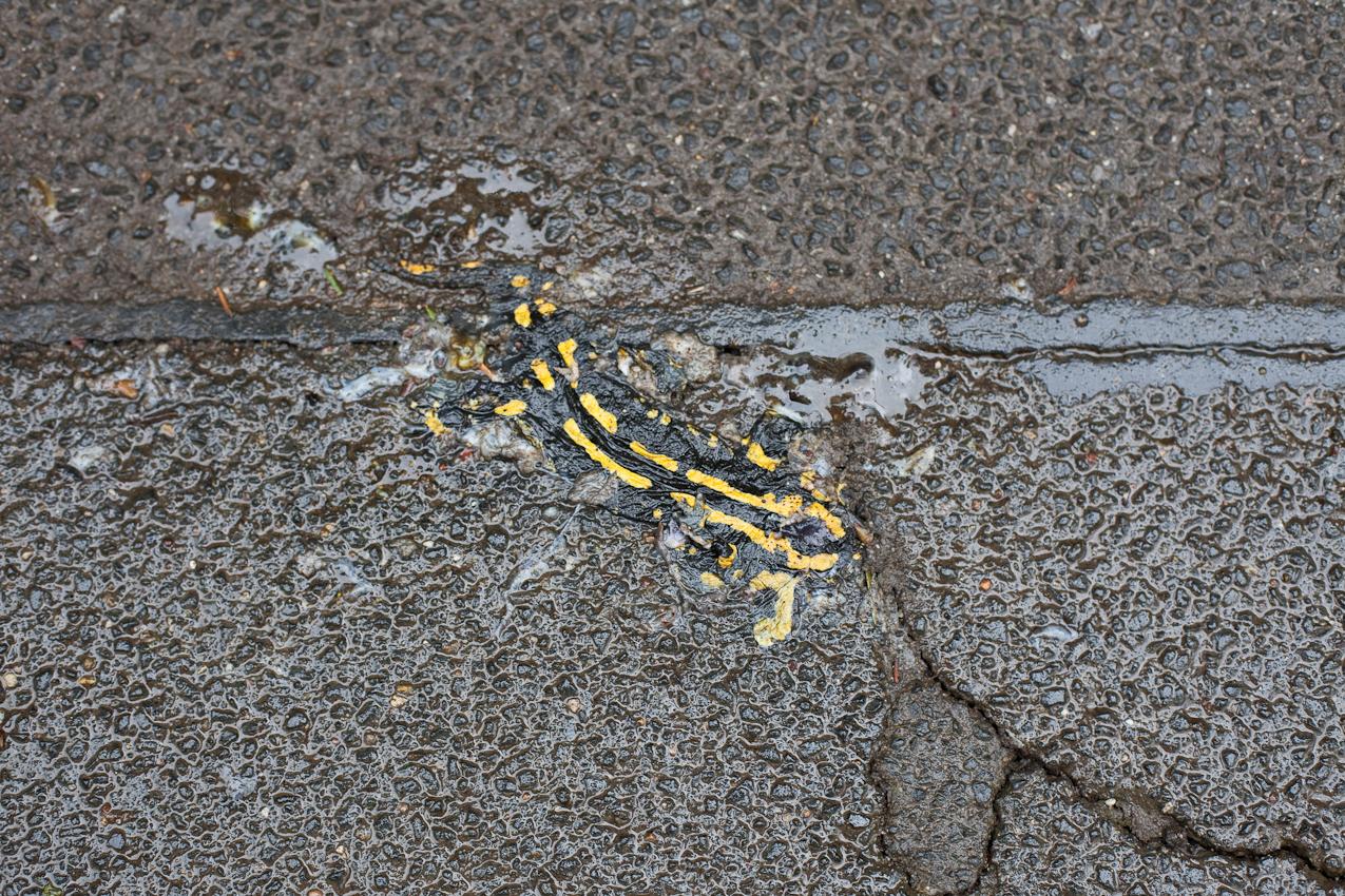 Gefahrensituation: Der Feuersalamader (Salamandra salamandra) tut gut daran, als geschützte Art den Nationalpark nicht zu verlassen.