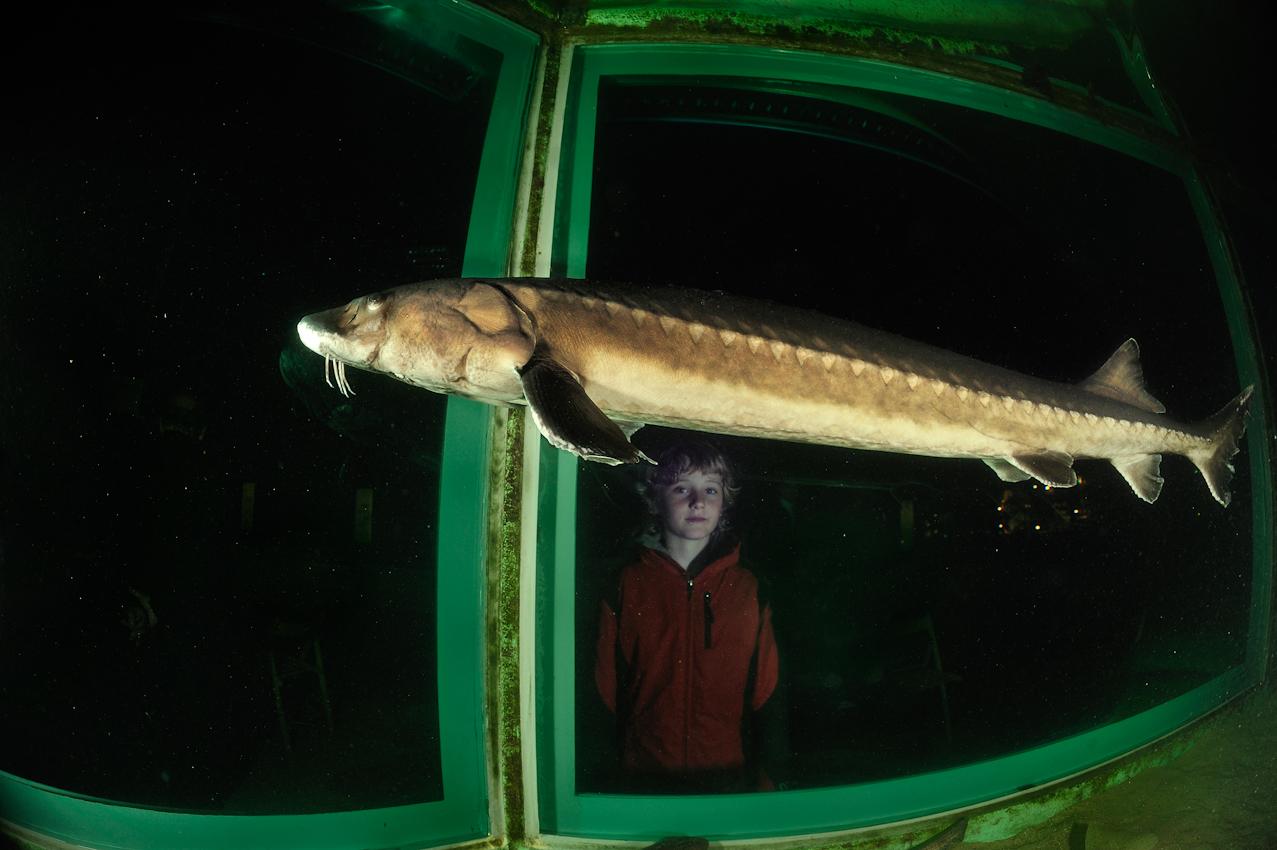Der europäische Stör (Acipenser sturio) im Aquarium Helgoland ist der letzte seiner Art, inzwischen sind alle freilebenden Exemplare aus der Nordsee verschwunden.
