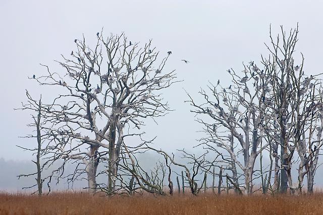 Kormoran-Kolonie (Vogel des Jahres 2010) mit Nestern auf abgestorbenen Baumen im Anklamer Stadtbruch, Mecklenburg-Vorpommern, Deutschland