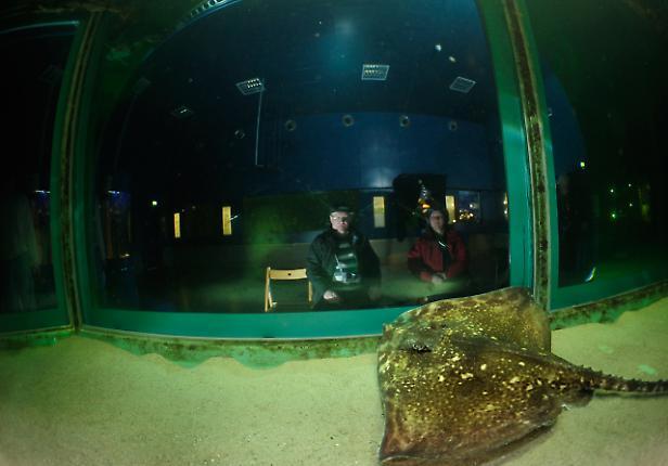 Der weibliche Nagelrochen (Raja clavata) beobachtet die Besucher des Schauaquariums. Das Forschungs-, Lehr- und Schauaquarium der Biologischen Anstalt Helgoland (BAH) übt auf Besucher als lebendiges Schaufenster in die Unterwasserwelt der Nordsee eine starke Anziehungskraft aus.